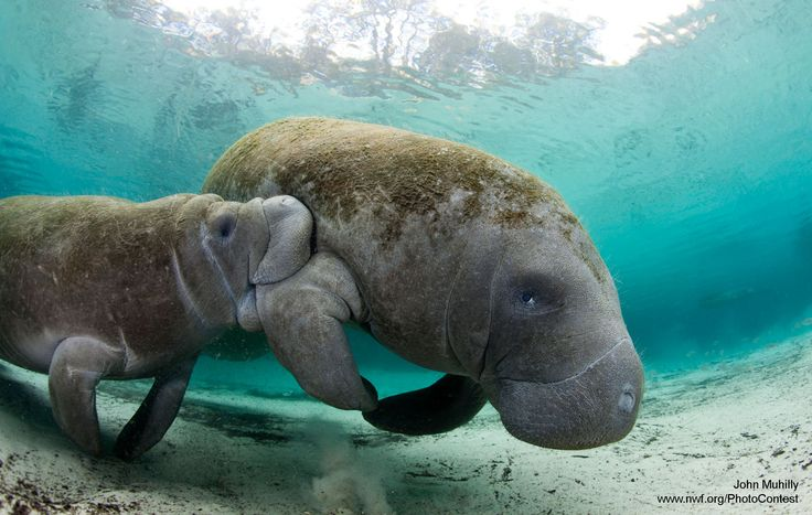 A manatee (Trichechus manatus) nurses her calf in the warm waters of the Three Sister's Spring (Florida). Photo by John Muhilly.