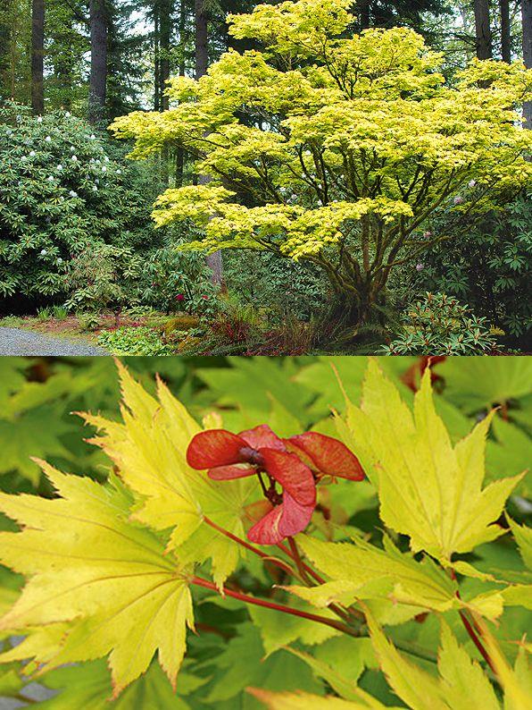 acer shirasawanum 39 aureum 39 rable du japon dor petit arbre touffu adulte 7 x 6 m feuilles de. Black Bedroom Furniture Sets. Home Design Ideas