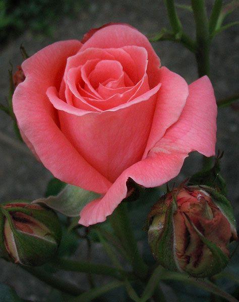 A Sonia rose... my favorite.