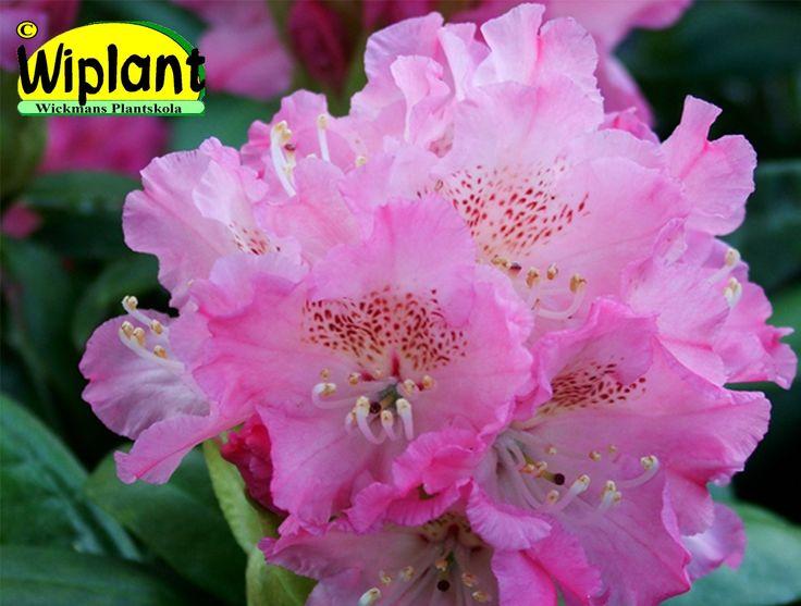 Rhododendron smirnowii-gruppen 'Marketta', rhododendron. Höjd: 1,8 m. Zon III.