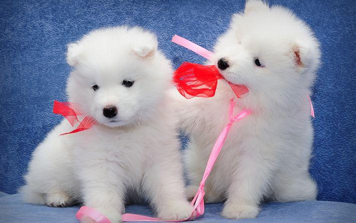 Hämta bilder Samojed, lurviga vita valpar, hundar, par, små vita hundar, valpar