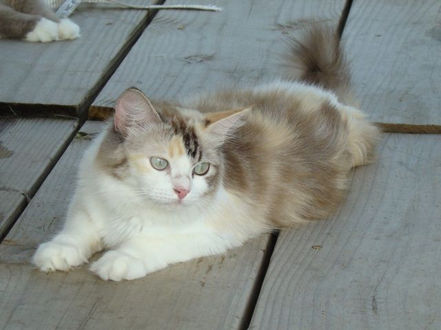 Seal Tortie Bicolor Lynx Mink Female Ragdoll cat