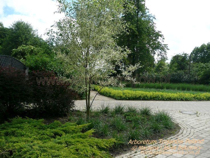 Arboretum Trojanów Poland  Alchemilla mollis Przywrotnik ostroklapowy ,Fraxinus pennsylvanica 'Argenteomarginata'