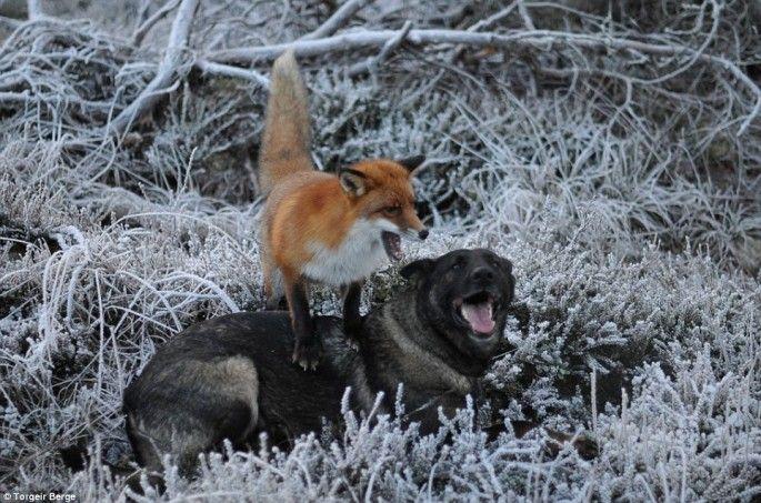 le chien et le renard jouent rox et rouky en vrai 1   Le chien et le renard ou Rox et Rouky pour de vrai   Torgeir Berge renard photo image ...