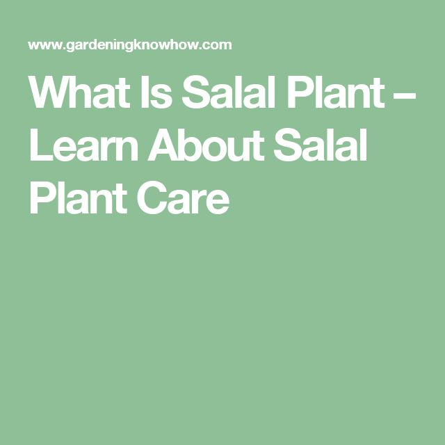 What Is Salal Plant – Learn About Salal Plant Care