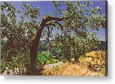 Portrait Of An Olive Tree Acrylic Print by Cesare Bargiggia