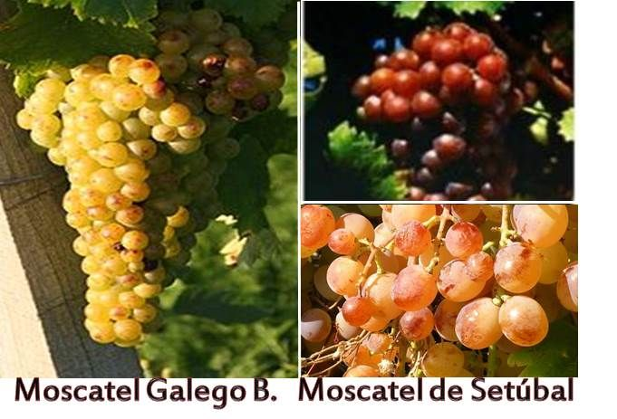 The two main types of Moscatel or Muscat  fortified DOC wines grown in Portugal are known locally as  MOSCATEL DE SETÚBAL (Muscat of Alexandria) and MOSCATEL GALEGO BRANCO (Muscat Blanc à Petits Grains) from Douro. Moscatel ROXO is a grape variety from Moscatel de Setúbal more complex and less citric in taste.  Most of the Muscat wine is sold with 2 to 5 years old, while some Moscatel Galego, Moscatel  Superior and some Roxo  are sold with 10 to 20 years, aging beautifully.