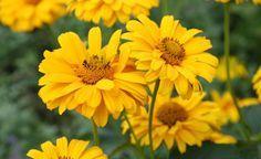 Viele kennen die Sonnenblumen (Helianthus) als einjährige Pflanzen. Es gibt aber auch staudige Vertreter in dieser Gattung, die im September noch ihre leuchtend gelben Blüten zeigen