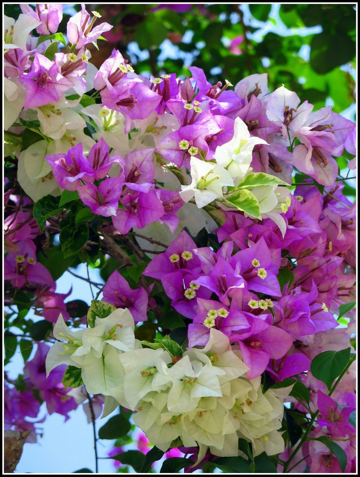 1000 images about beautiful bougainvillea on pinterest - Flowers native to greece a sea of color ...