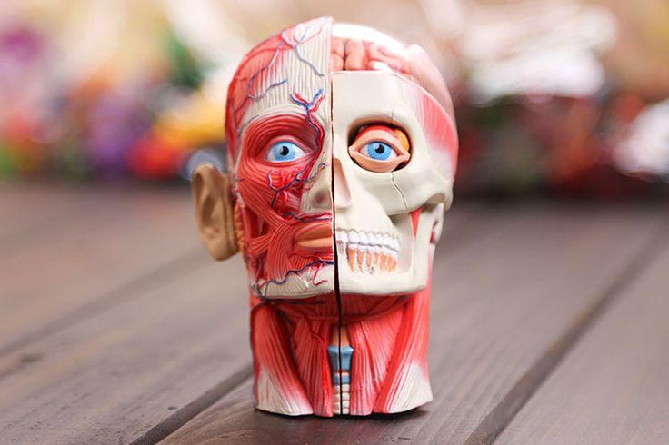 Медицинское использование 4D мастер полураспада - размер человеческая голова анатомия модель состоит из 14 частей, Анатомия медицинское головы мышцы нервных модели