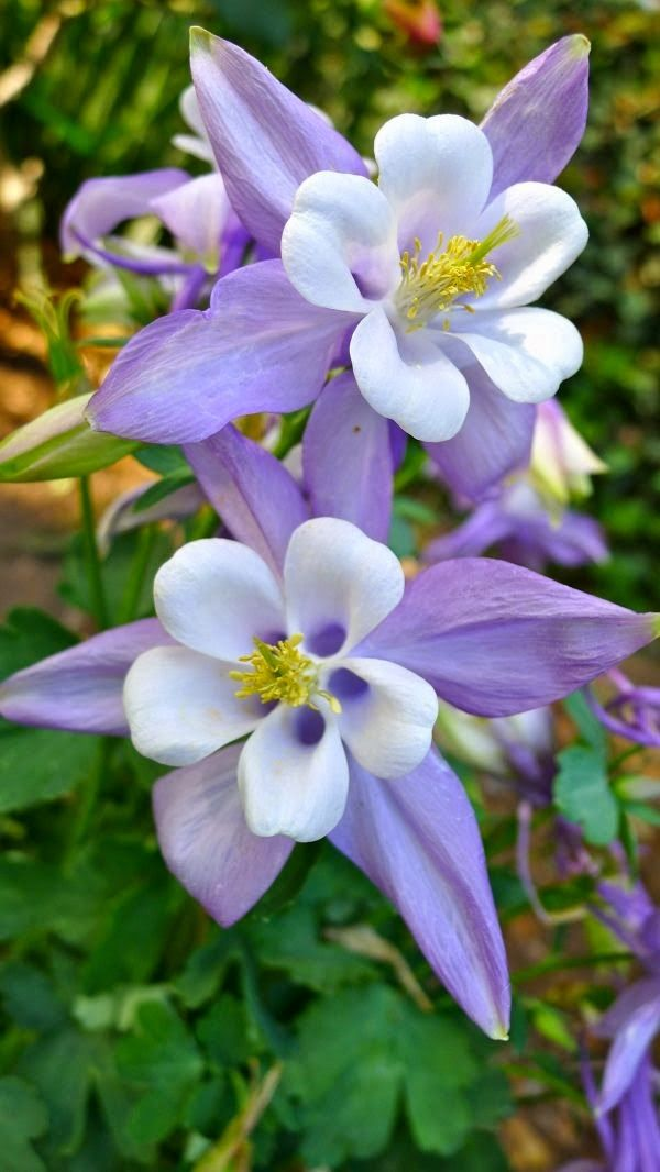 My favorite flower, the Colorado Columbine. Too bad they can't stand the Texas heat...
