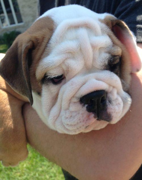 English Bulldog - Baby  Puppy :) Chicago's cutest bulldog Follow Ethel on her Facebook page: http://www.facebook.com/EthelTheBulldog