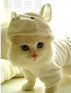 best.kitty.costume.EVAH!!!: Cute Animal, Kitty Cat, Dresses Up, Halloween Costumes, Animal Costumes, Pet, Cute Cat, Pigs Costumes, White Cat