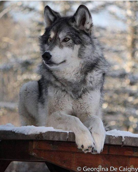Wolf © Georgina De Caigny