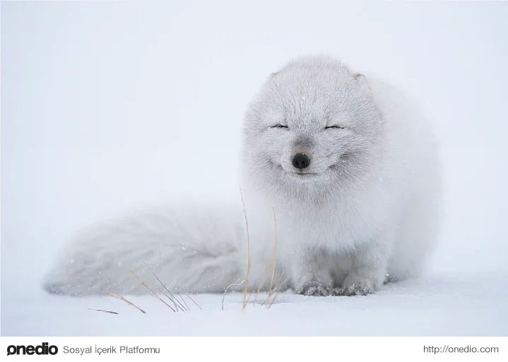 Soğuk havanın tadını çıkaran Kutup Tilkisi