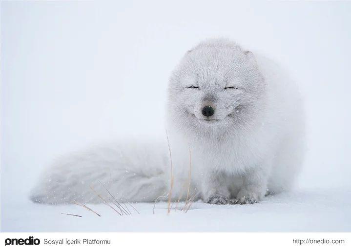 Soğuk havanın tadını çıkaran Kutup Tilkisi- Erkek tilki avlanıp yiyecekleri (küçük kemirgenler, kuşlar, bazı meyveler, leşler) yuvaya taşırken, dişi yavrularıyla ilgilenir. Yavrular aşağı yukarı 4 aylıkken yuvadan ayrılırlar. Bu süre içinde çift birlikte yaşarlar. Kutup tilkisinin insanlardan başka başlıca düşmanları vaşak ve kutup ayısıdır.