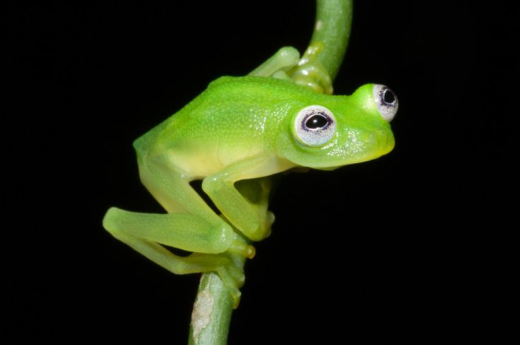 Kermit? Newly discovered frog species 'Hyalinobatrachium dianae' bears a striking resemblance to Kermit the Frog.