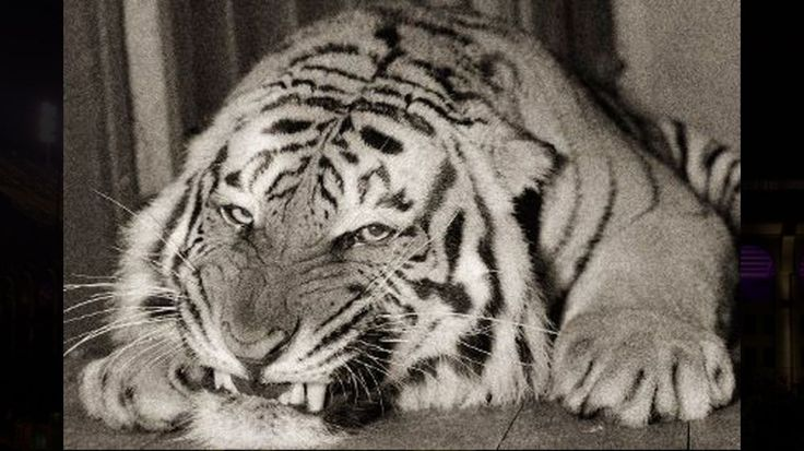 BATON ROUGE - Despite the announcement Monday that LSU's live tiger mascot is to be treated for a rare form of cancer, Mike VI will remain one of just two live tigers left representing U.S. universities in the country. LSU's first tiger arrived in the fall of 1936 after nearly two years of planning by university officials. Through the years, LSU has had to replace the mascot a total of five teams, giving LSU a roster of six Mikes