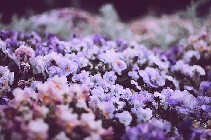 一面に咲く紫色の可愛い花たち