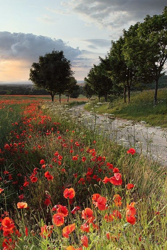 The poppies in North Yorkshire