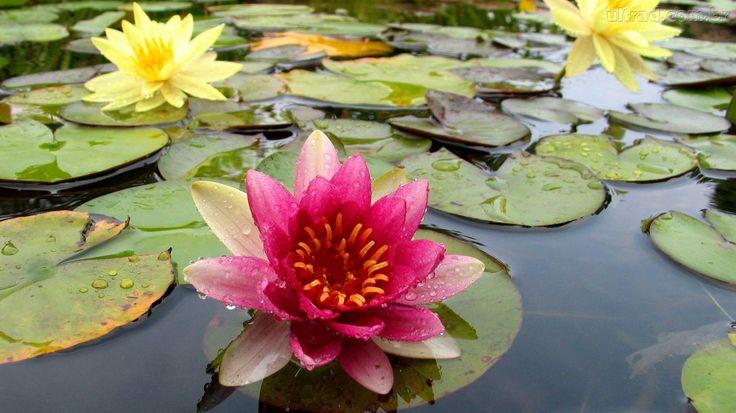 A nossa Vitória Régia ( Victoria amazonica  ) é a maior flor americana. Porém com cheiro muito gostoso. A Vitória Régia é uma planta aquát...