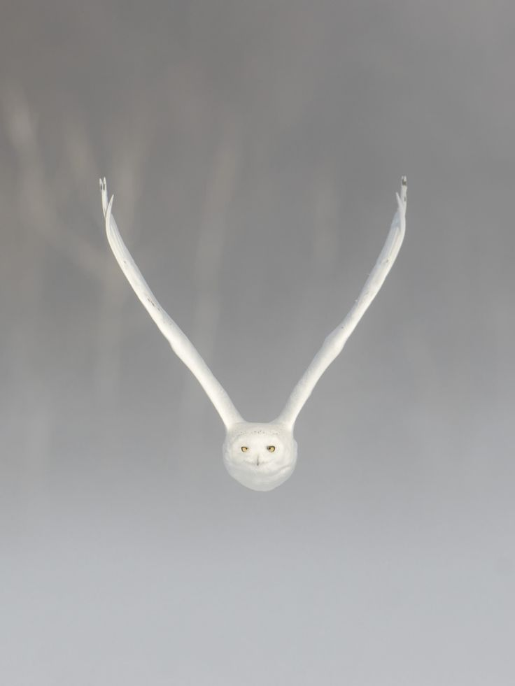 Male Snowy Owl, in a Winter Storm - V by Luc Parent on 500px