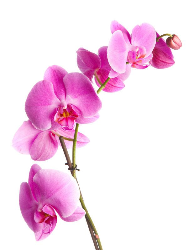 Pink orchids Wall Mural | Eazywallz