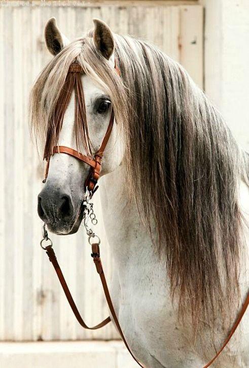 Pura Raza Española stallion Marismeno XLV, portrait.