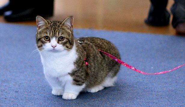 munchkin cats | Munchkin Cat, Breed, Information, Characteristics and Price