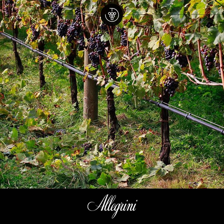 At Allegrini we prune our vines by removing leaves near the grape cluster.  We do this to give them space, air, and avoid dangerous mold.