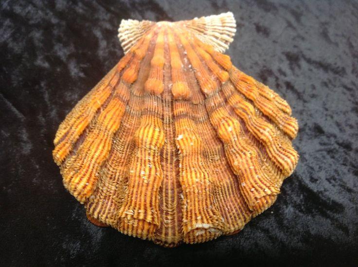 Pecten fragosus scallop shell seashell Florida 112mm f+++ color variation