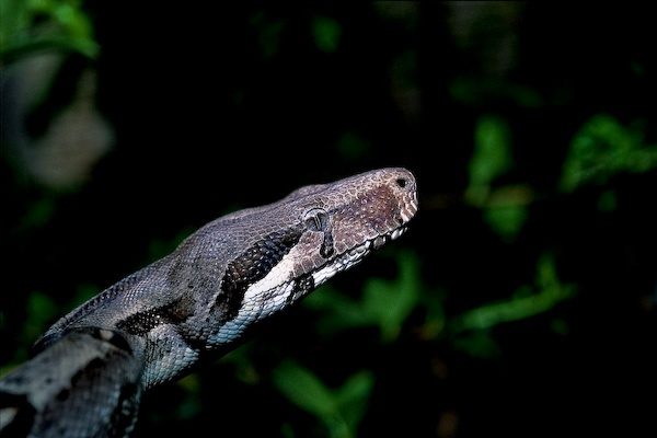 Boa constrictor © Olivier Soury
