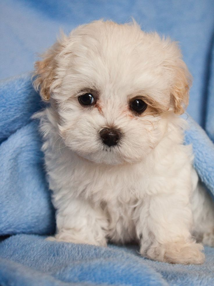 cute Maltipoo Puppies For Sale Ontario Canada
