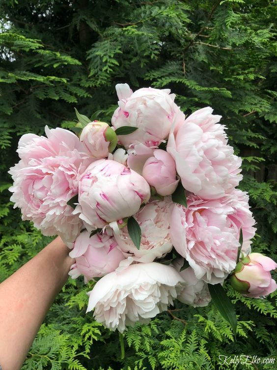 How to Make Peonies Last Longer! Tips for peony lovers so you can enjoy your blooms longer kellyelko Piones Flowers, Peony Flower, Planting Flowers, Small Flowers, Peony Plant, Blooming Flowers, Peonies And Hydrangeas, Peonies Garden, Pink Peonies