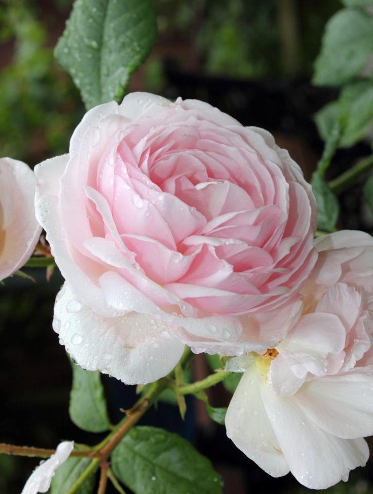 'Heritage' | Shrub.  English Rose Collection. David Austin English Rose. Austin, 1984  | Flickr - © =Anubis=