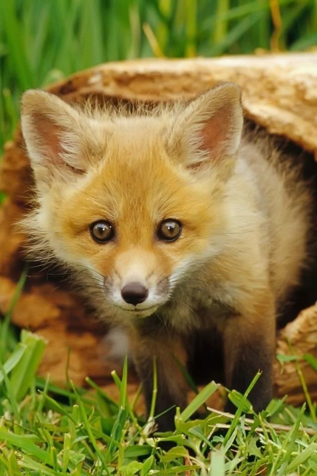 Red Fox Cub - If you have any images you wish to submit email to tastefulimagesnz@gmail.com                                                                                                                                                                                 More