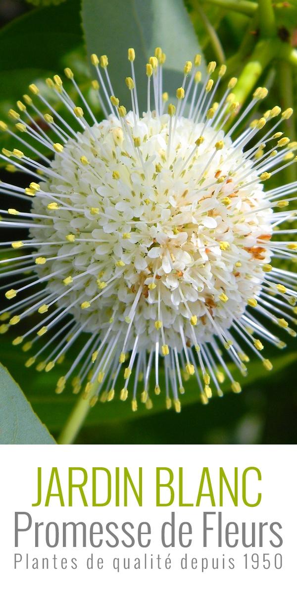 Le #Cephalanthus occidentalis est un arbuste très ramifié et original par sa floraison estivale en pompons blanc crème, très parfumés. #macro #flowers