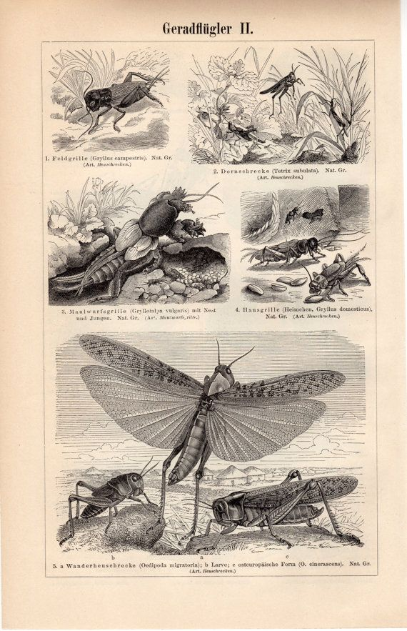 1894 Antique Orthoptera Print, Grasshoppers, Crickets, Weta, Locusts, German Cockroach, Earwigs, European Mantis, Leaf Insects
