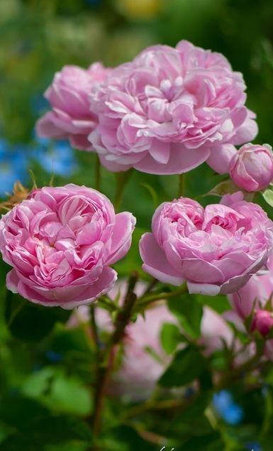 So sehen Rosen aus, aus denen man Rosenmarmelade  machen kann. Stell dir einfach einen kalten, dunklen Wintertag vor, du öffnest das Glas mit der Rosenmarmelade und plötzlich scheint die Sonne  in deinem Zimmer! Dazu nimmst du im Frühjahr zwei gute Hände voll von den Blüten, lässt sie über Nacht in einem knappen Liter Wasser ziehen,  zusammen mit dem Gelierzucker und dem Saft einer Zitrone, kochst das Ganze dann morgens auf, ab in die Gläser und fertig!