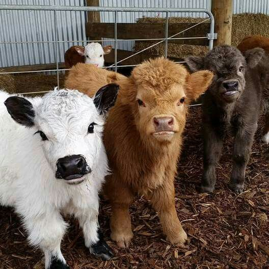 Miniature cows, too cute.