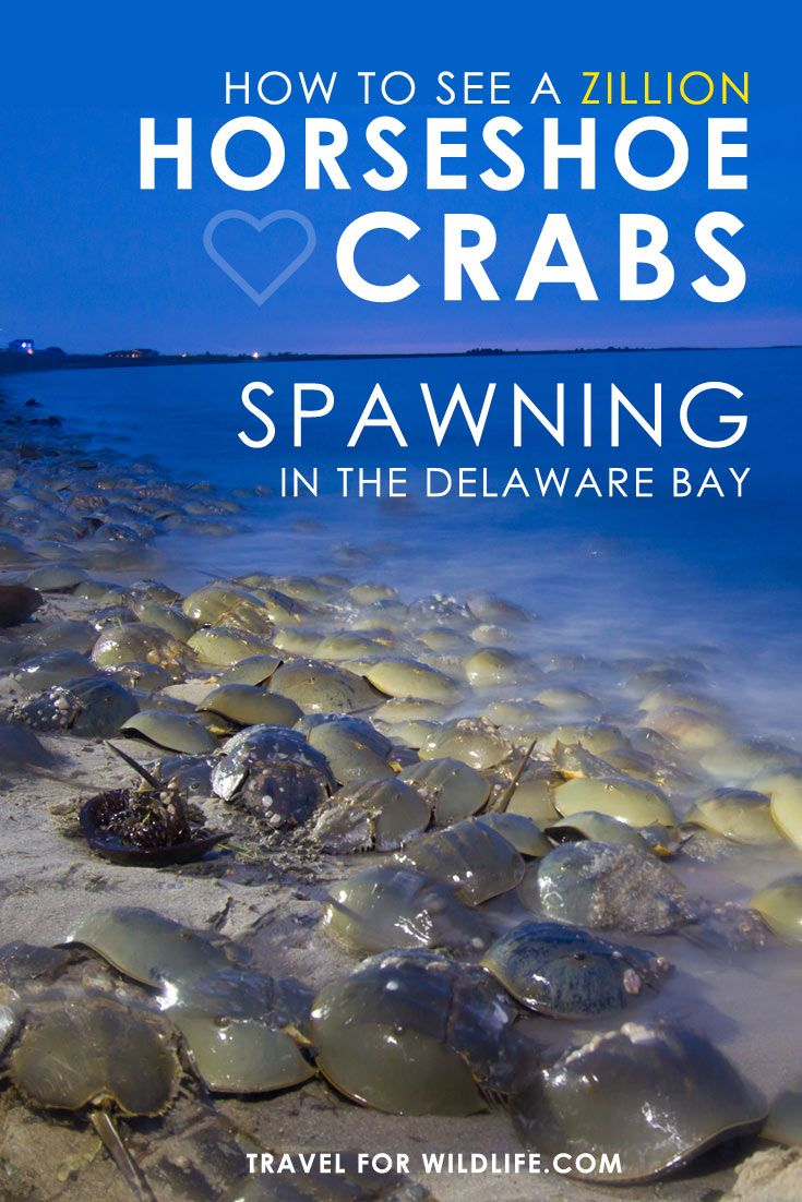 Everything you need to know to catch one of the world's greatest wildlife spectacles, the Horseshoe Crabs spawning in the Delaware Bay! via @travel4wildlife