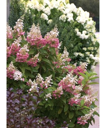 Proven Winners | Hardy Hydrangea These Beautiful Hydrangeas are completely hardy for zone 3.