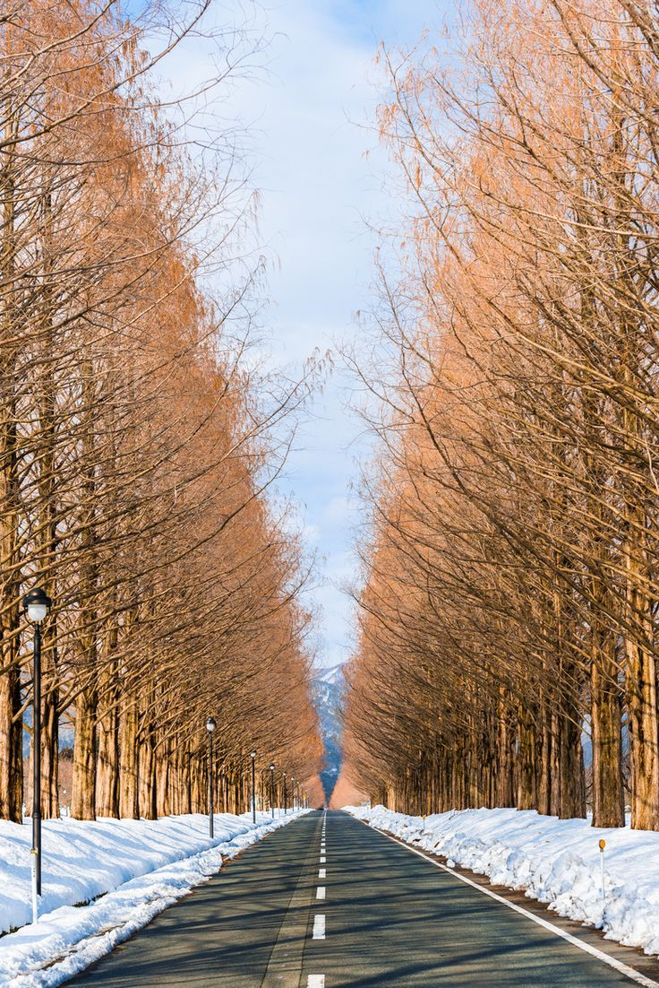 Metasequoia Road, Shiga, Japan メタセコイヤ並木