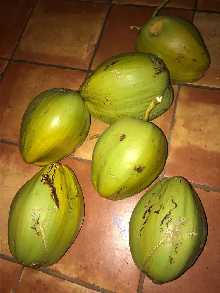 うちの庭のココナッツ 採り ココナッツジュースが飲める