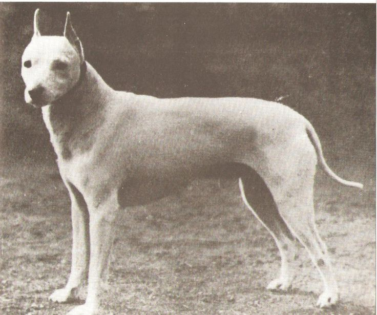 Old English White Terrier 1890s - now extinct
