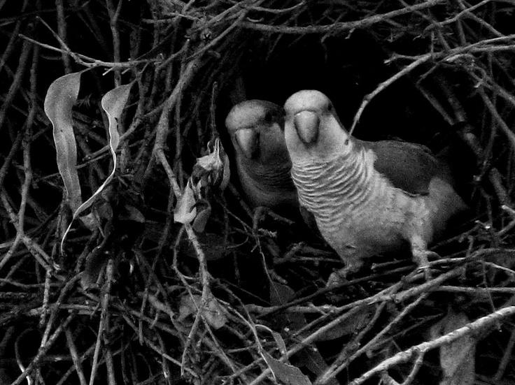 Loritos en su nido