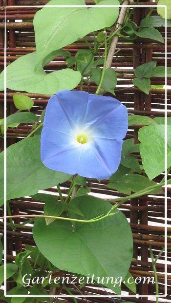 Prunkwinde, Trichterwinde, Ipomoea tricolor