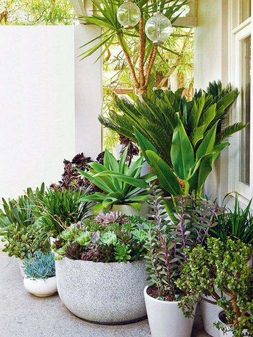 Tropical plants make a great back drop to succulents that include Agave attenuata, various jades, a large pot full of aeonium and echeveria rosettes, and purple-green Senecio jacobsenii.