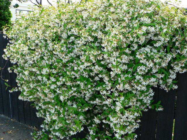 Trachelospermum jasminoides (Jasmin étoilé) - Sandy Austin / flickr.com