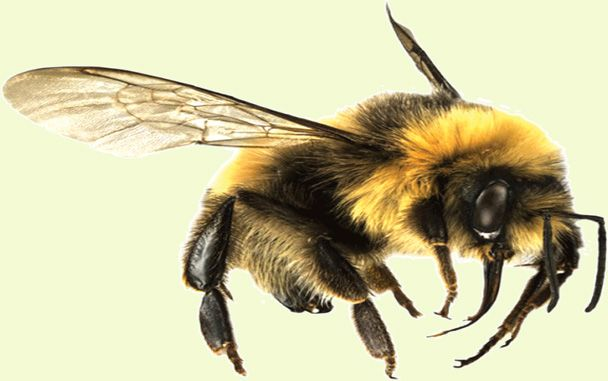 15 Natural Ways To Get Rid Of Bumble Bees Bumble Bee Nest Bee Repellent Bumble Bee